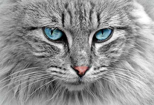 Кошка сибирская